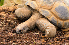 Aldabra Giant Tortoise Stock Photos