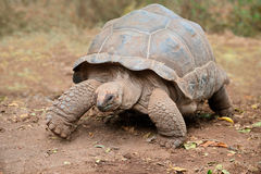 Free Aldabra Giant Tortoise Royalty Free Stock Images - 54551079
