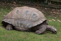 Aldabra giant tortoise Aldabrachelys gigantea Royalty Free Stock Image