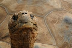 Aldabra Giant Tortoise (Aldabrachelys Gigantea) Royalty Free Stock Photo