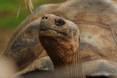 Aldabra Giant Tortoise (Aldabrachelys Gigantea) Stock Photos