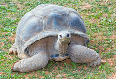 Aldabra giant tortoise (Aldabrachelys gigantea) Stock Images