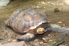 A aldabra giant tortoise  Aldabrachelys gigantea Stock Image