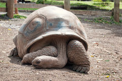 Aldabra giant tortoise (Aldabrachelys gigantea) Stock Photo
