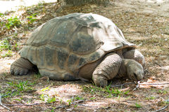 The Aldabra giant tortoise Stock Images