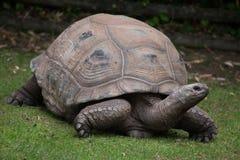 Aldabra giant tortoise Aldabrachelys gigantea Stock Photo