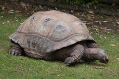 Aldabra giant tortoise Aldabrachelys gigantea Royalty Free Stock Images