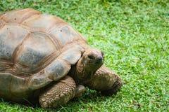 Aldabra giant tortoise Aldabrachelys gigantea Stock Photos
