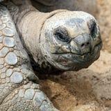 Aldabra giant tortoise, Aldabrachelys gigantea Stock Photos