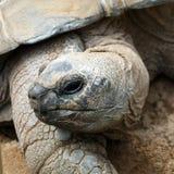 Aldabra giant tortoise, Aldabrachelys gigantea Royalty Free Stock Photos