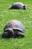 Aldabra giant tortoise. (Aldabrachelys gigantea) on grass Royalty Free Stock Photography