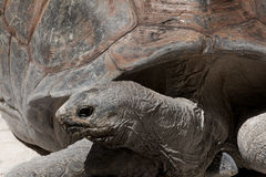 Aldabra giant tortoise (Aldabrachelys gigantea). The Aldabra giant tortoise (Aldabrachelys gigantea), from the islands of the Aldabra Atoll in the Seychelles, is Royalty Free Stock Images