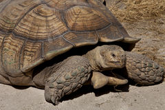 Aldabra giant tortoise (Aldabrachelys gigantea). The Aldabra giant tortoise (Aldabrachelys gigantea), from the islands of the Aldabra Atoll in the Seychelles, is Royalty Free Stock Image