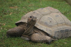 Aldabra Giant Tortoise - Aldabrachelys gigantea Stock Photo