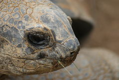 Aldabra Giant Tortoise - Aldabrachelys gigantea Royalty Free Stock Photo