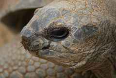 Aldabra Giant Tortoise - Aldabrachelys gigantea Stock Images