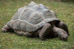 Aldabra giant tortoise (Aldabrachelys gigantea). Stock Photography