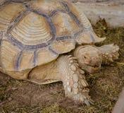 Aldabra giant tortoise Royalty Free Stock Photos