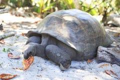 Aldabra giant tortoise eats leaves Stock Image