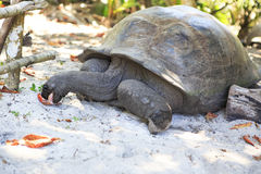 Aldabra giant tortoise eats leaves Royalty Free Stock Photos