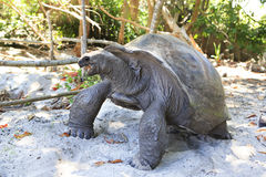 Aldabra giant tortoise eats leaves Stock Images