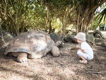 Aldabra giant tortoise feeding Stock Images