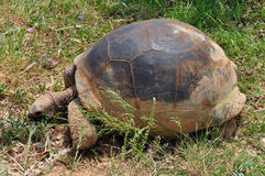 Aldabra giant tortoise feeding on grass Stock Image