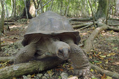 Aldabra giant tortoise in the forest Stock Photo
