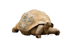 An Aldabra Giant Tortoise (Geochelone gigantea). Chewing grass isolated on white Royalty Free Stock Photos
