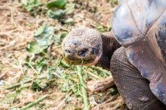 Aldabra Giant Tortoise (Geochelone gigantea) Royalty Free Stock Photo