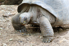 Aldabra giant tortoise Royalty Free Stock Images