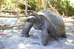 Aldabra giant tortoise in island Curieuse Stock Photography