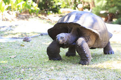 Aldabra giant tortoise in island Curieuse Stock Image