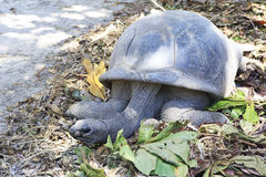 Aldabra giant tortoise in island Curieuse Royalty Free Stock Photography