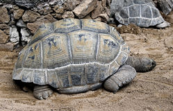 Aldabra giant tortoise 2 Stock Photos