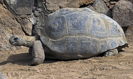 Aldabra giant tortoise 3 Royalty Free Stock Photography