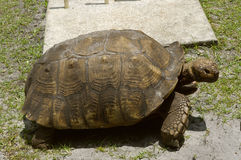 Aldabra giant tortoise Royalty Free Stock Image