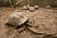 An Aldabra giant tortoise looks out from its shell on Prison Isl Royalty Free Stock Image
