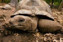 An Aldabra giant tortoise looks out from its shell on Prison Isl Stock Photography