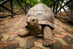 An Aldabra giant tortoise looks out from its shell on Prison Isl Stock Photo