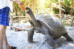 Aldabra giant tortoise reaching for the leaves in Stock Images
