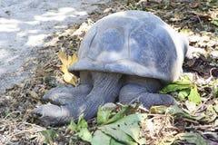 Aldabra giant tortoise resting Royalty Free Stock Photography
