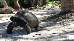 Aldabra giant tortoise , Seychelles Royalty Free Stock Photo