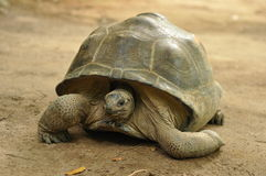 Aldabra giant tortoise Royalty Free Stock Photos