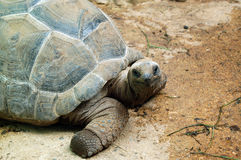 Aldabra Giant Tortoise of the Seychelles Stock Images