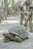 Aldabra giant tortoise on sidewalk stock photography