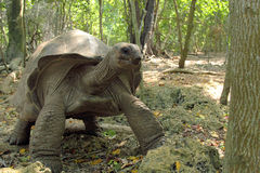 Aldabra giant tortoise between the trees Royalty Free Stock Photography