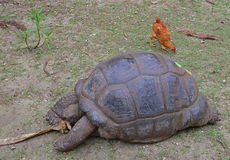 An Aldabra giant tortoise trying to shred a dry tree bark while a chicken is searching for food behind Stock Photography