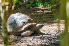 Aldabra giant tortoise turtle Royalty Free Stock Image