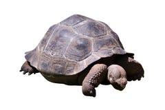 Aldabra giant  tortoise. Turtle creeps. Isolated on white background Stock Photo